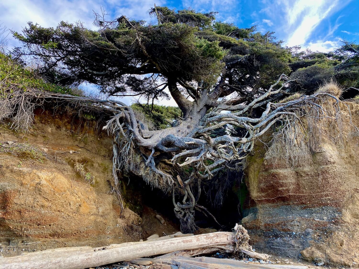 The tree of life straddles two sides of a beach side ravine with a cave like opening underneath. This part of the Washignton Coast has sand and drift logs and the sky a mix of blue and clouds.