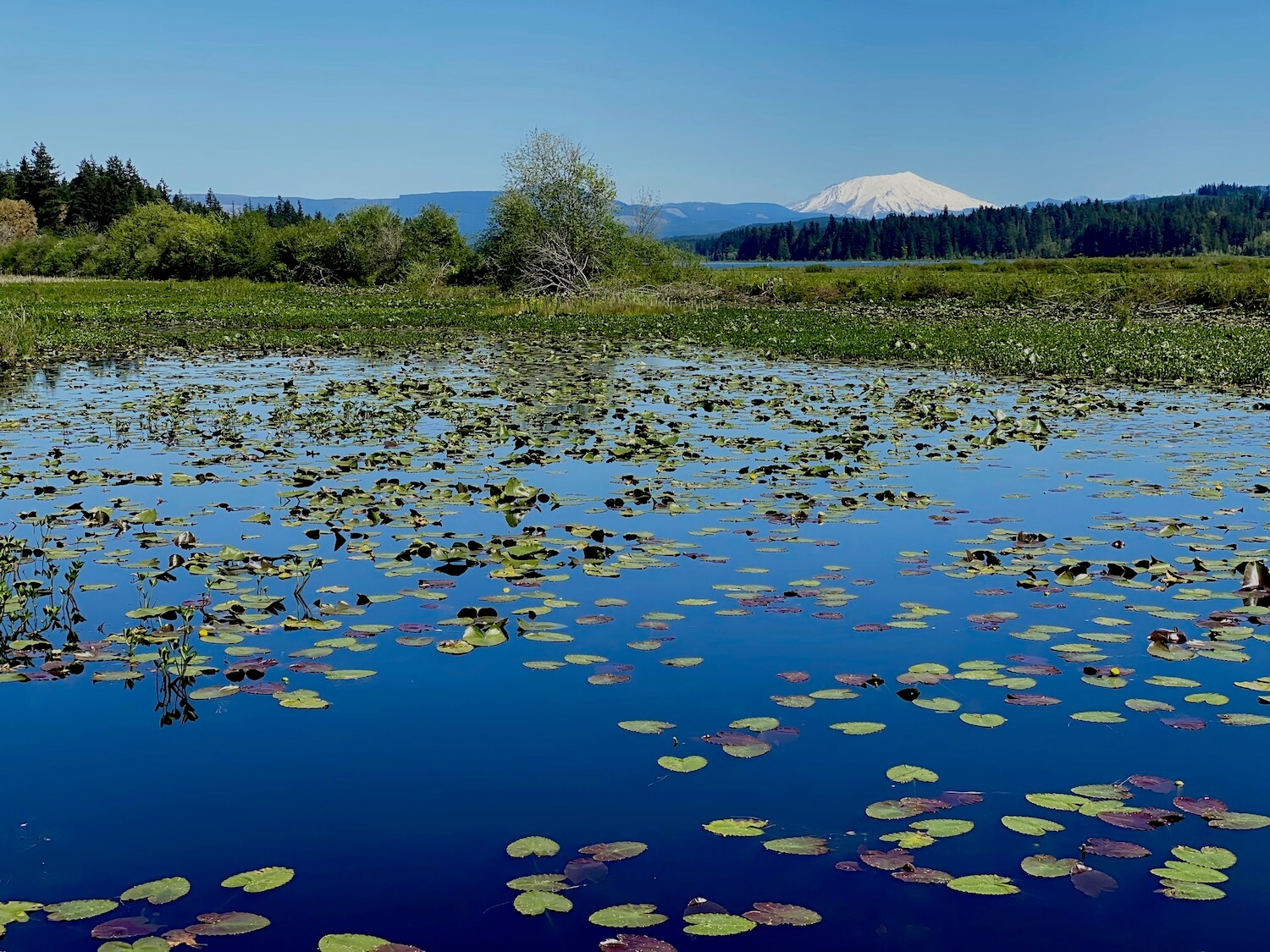 Snow covered Mount St. Helens viewed from Silver Lake.  The lake has an assortment of lily pads floating in the water that is a deep blue.  The lake is surrounded by green brush and the sky above the bright mountain is blue.