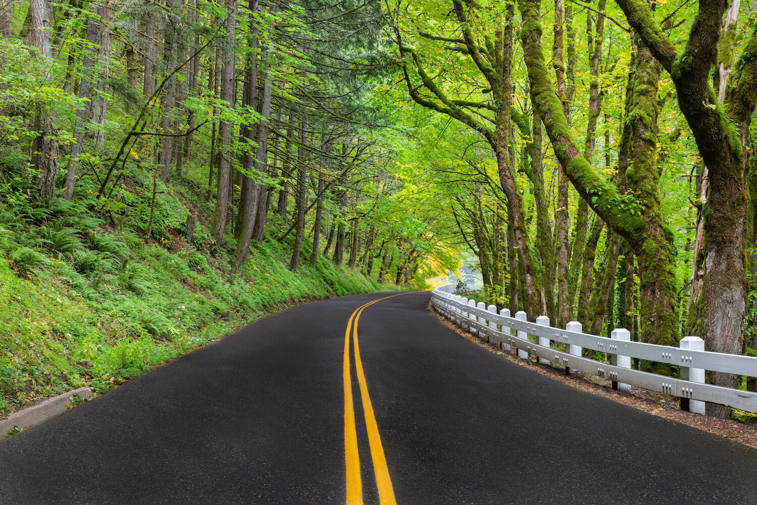 A wooded section of the historic Columbia River Highway which winds along the gorge in Oregon. This pavement road has a double yellow line in the center and the signature white painted wood guardrails from the 1920's add a bit of nostalgia to the scene.