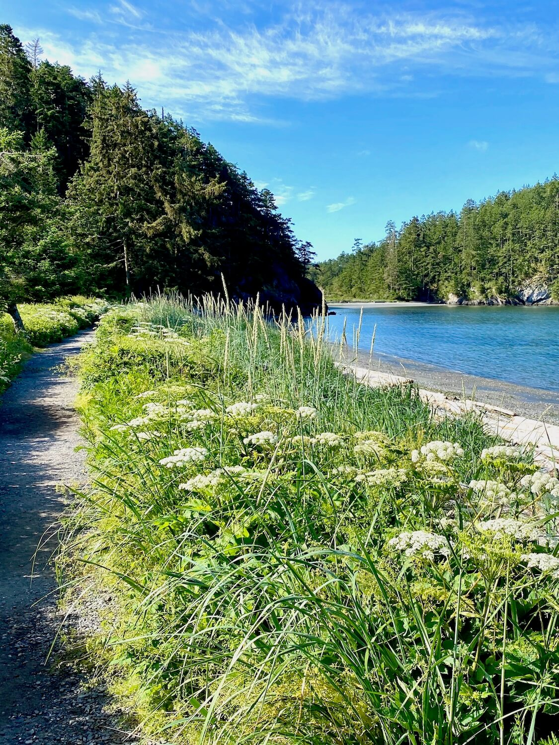 A trail on gravel leads through high brush that consists of tall coastal grasses and big bright white flowers.  In the distance is a hill with dark green firs.  The beach is rocky and the quiet body of water creates a divide for the rocky hill in the background leading to Lighthouse Point Trail in Deception Pass State Park.