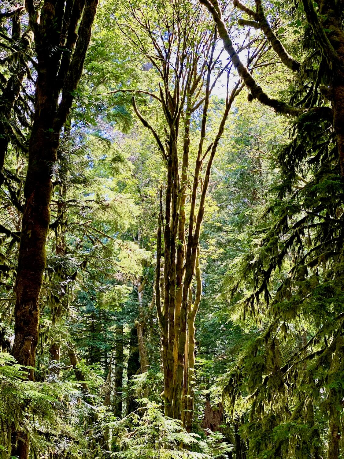 This photo is damp and full of mossy life. This very vertical moss soaked maple tree extends up a hundred feet to the top of the forest canopy while western cedar trees frame in the shot with their distinct rich waxy green needles.