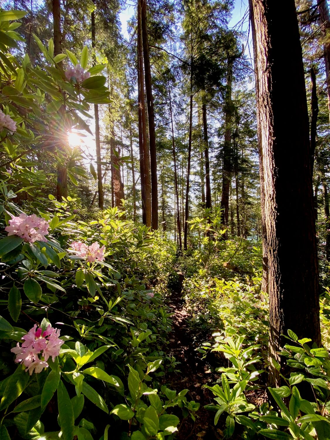 This early morning shot captures the sun rising through a dense forest of mid size fir trees.  In the foreground a rhododendron bush blooms with pink flowers while the rays shine against the textured bark of a doulgas fir tree.