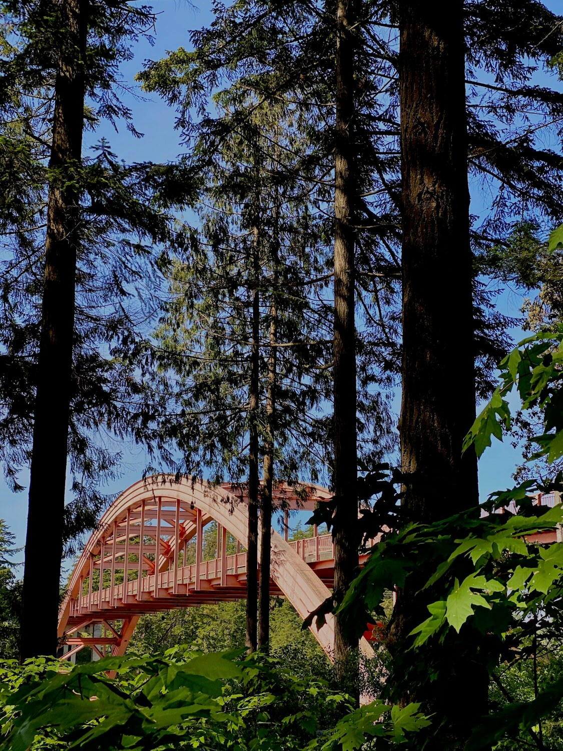 The Rainbow Bridge connects the Swinomish Tribal Community with La Conner, Washington.  In this shot, the prink bridge is hidden behind several tall fir trees and maple brush of Pioneer Park.