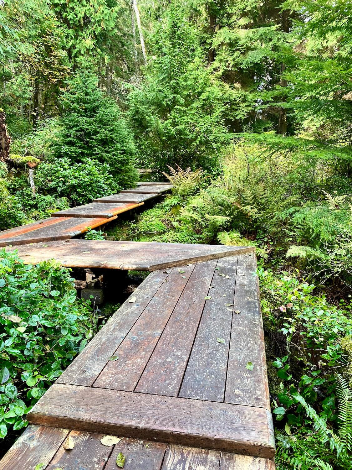 A zig zag patterned wooden boardwalk traverses through marshy green shrubs and taller evergreen trees.