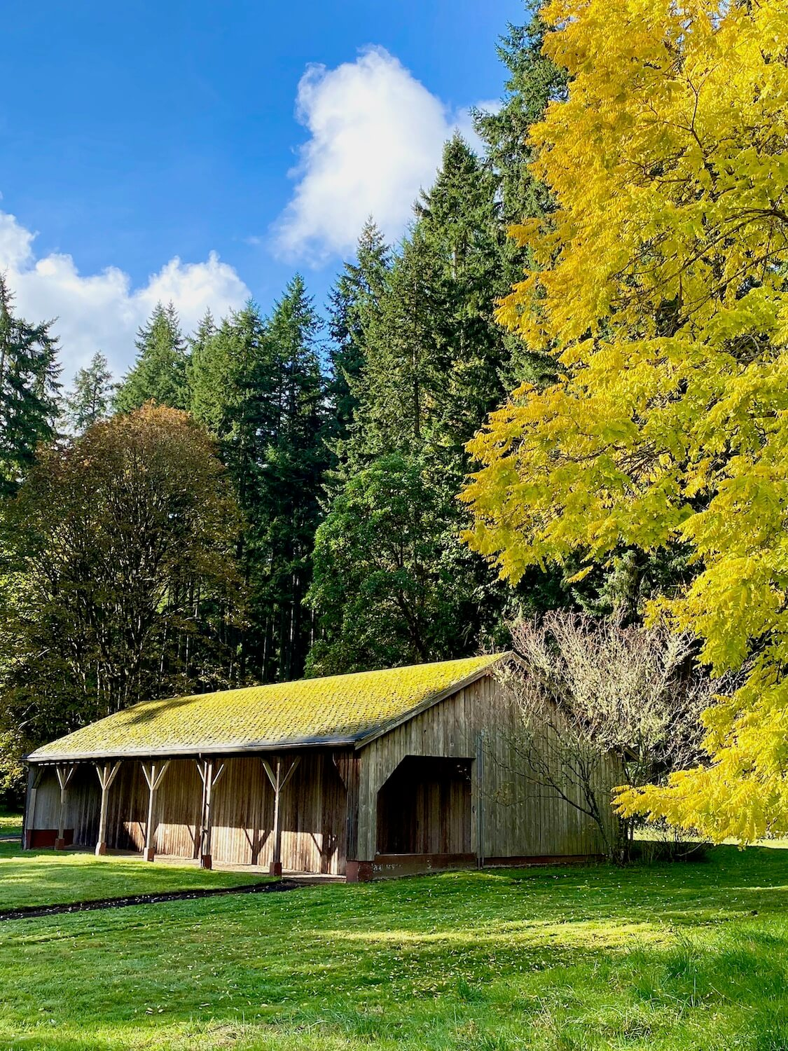 A barn in part of the farming complex of Bloedel Reserve on Bainbridge Island shows a peaceful fall scene. The green grass is trimmed around the old wooden building that has moss growing on the roof. There is a large tree with bright yellow leaves changing for Autumn which stands beside several other fir trees. The sky is bright blue with a few puffy white clouds.