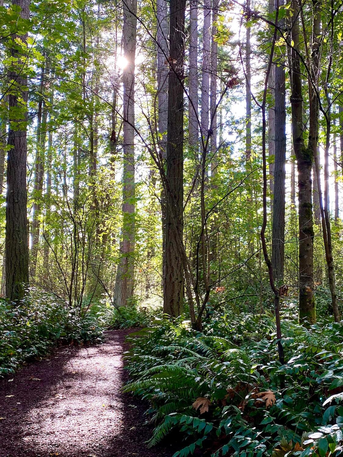 A ray of sunshine flows into this forest scene, with fir and maple trees reflecting the shining rays. A trail of brown wood chips reflects the sun while low brush of sword fern and salal fill in the rest of the forest floor.