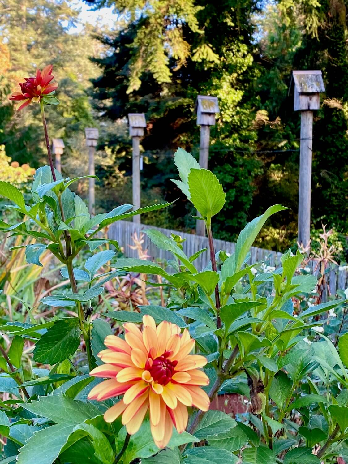 A bright orange dahlia blooms in a wood fenced in garden with another darker red flower open in the distance. The garden is surrounded by tall posts that host tiny birdhouses. There are fir trees in the background under patches of blue skies.