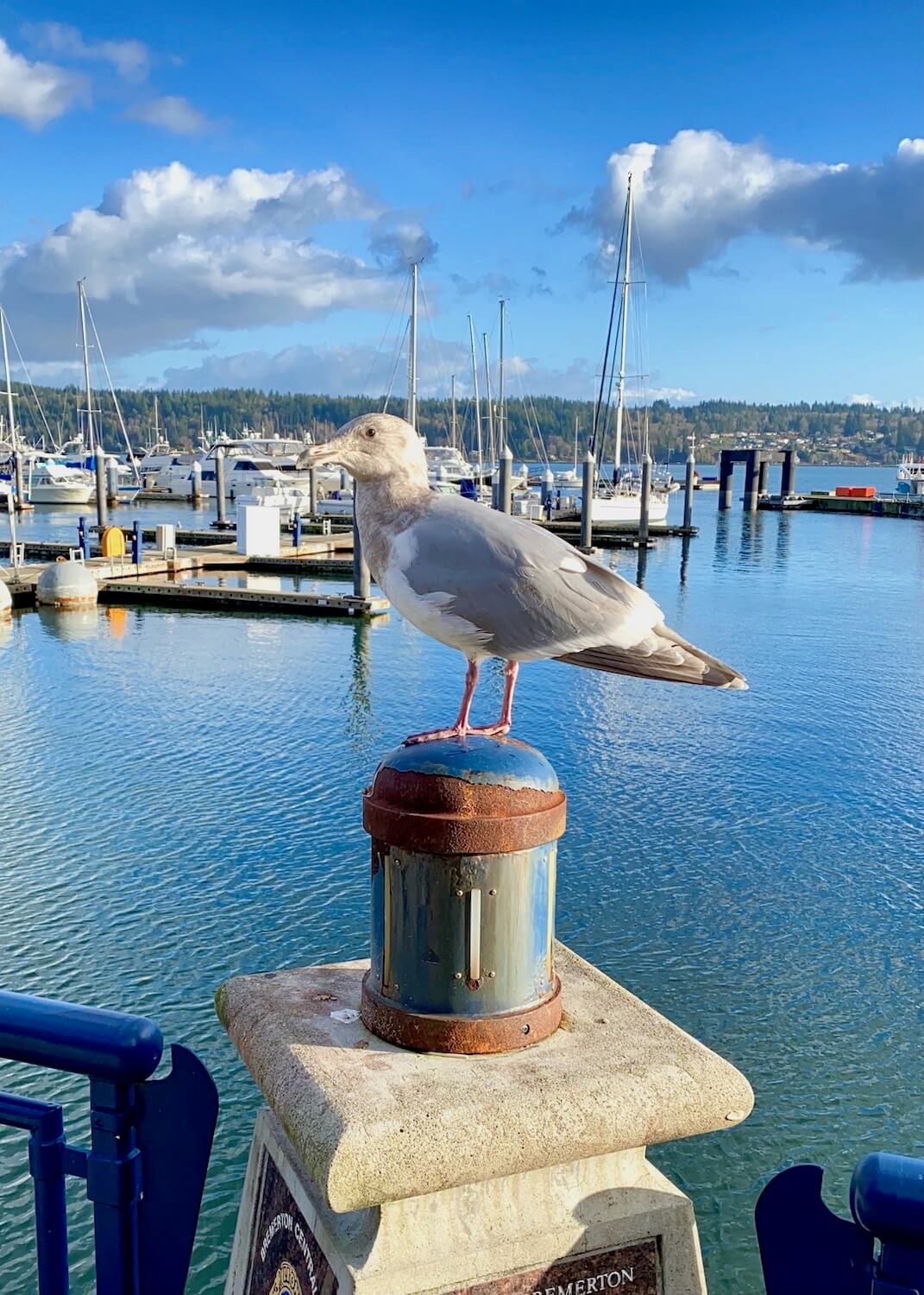A seagull sits on a piling in a Bremerton marina with sailboats in the marina in the background and blue sky above.