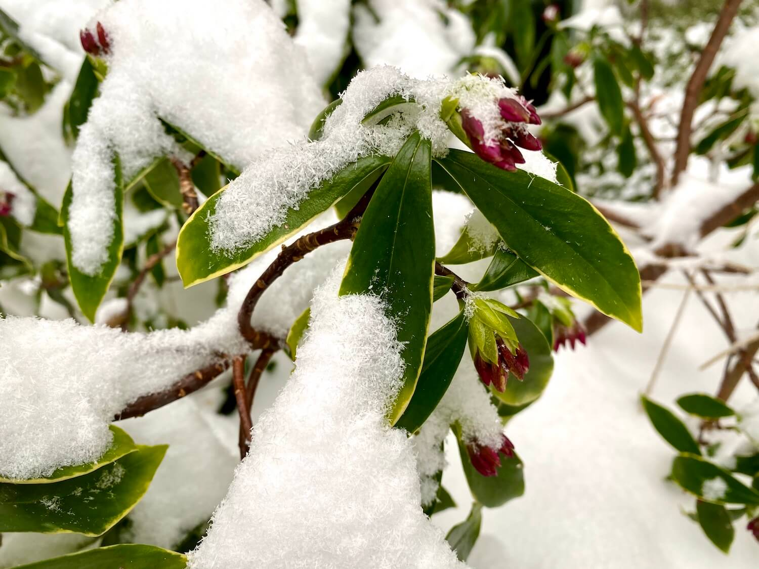 Snow crystals pile up on a budding Daphne bloom, making it's way to push through the snow. The green leaves are light yellow on the ends.