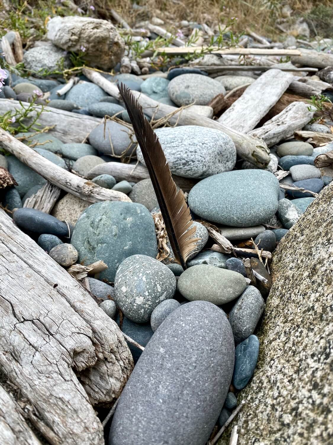 A dark feather is stuck into a group of rock on a Salish Sea beach.  There are a few pieces of weathered driftwood as well.