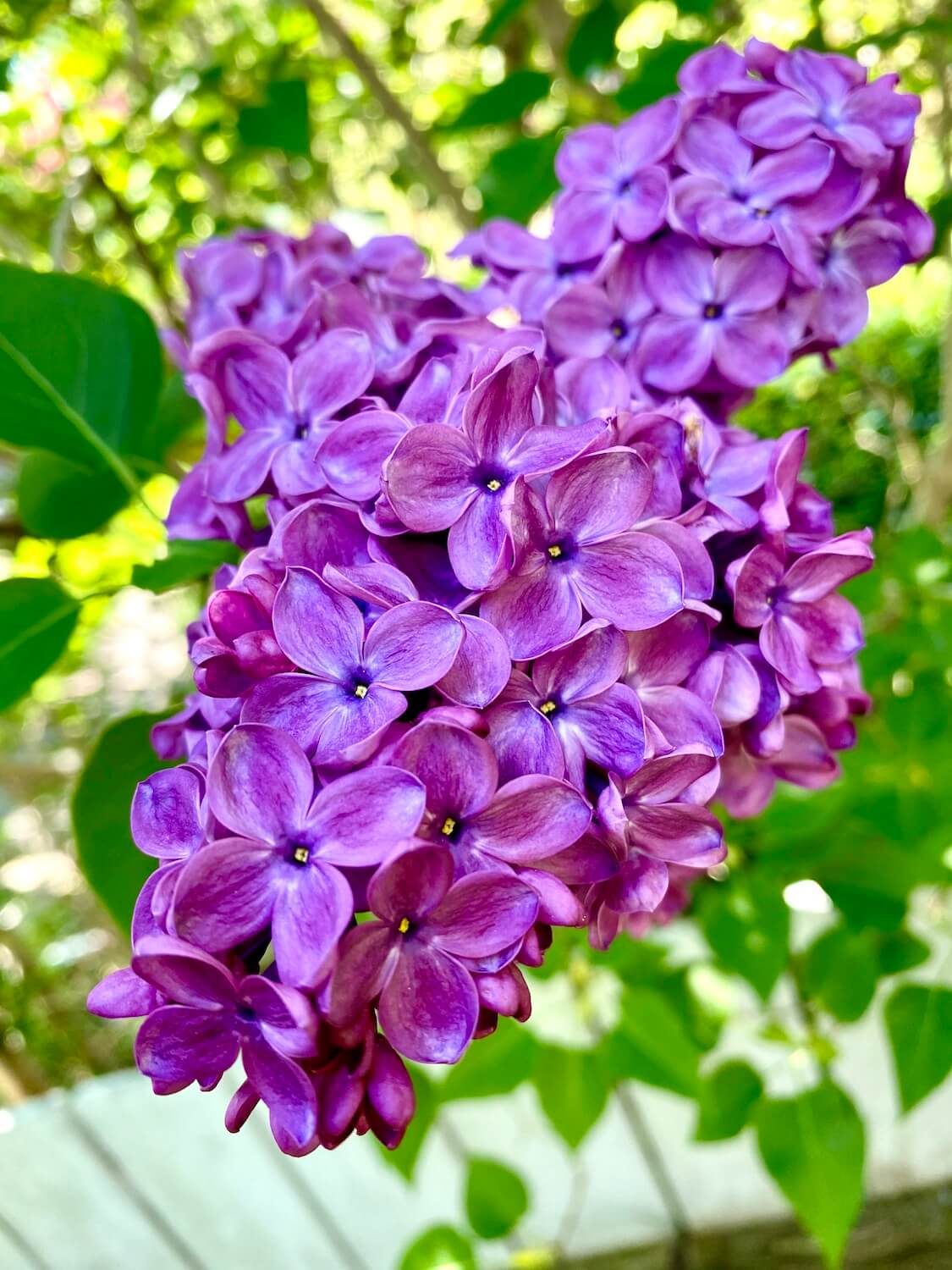 Vibrant purple lilac flowers open up against the blurred backdrop of lime green leaves, creating an impressive Spring collage of color in a Seattle neighborhood.