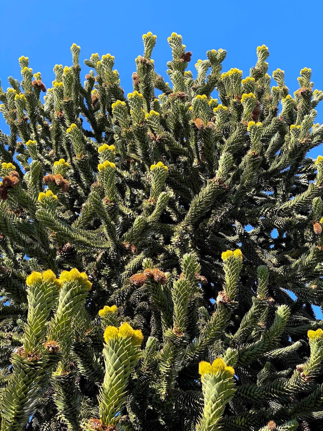 A monkey puzzle tree blooms in Spring in Seattle with green prickly branches and yellowish flowers where the new growth is extending out.