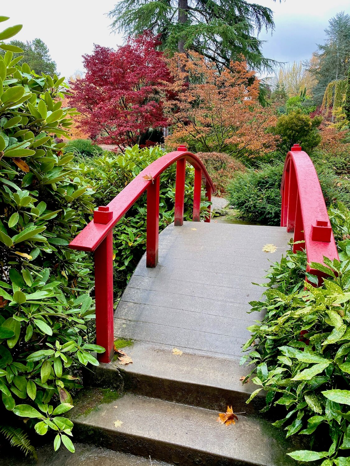 A bright red Japanese Moon Bridge crosses a creek with abundant green foliage all around and red and orange leaves on the trees in the background.  Kubota Garden is a great thing to do on a long layover at Seatac Airport.