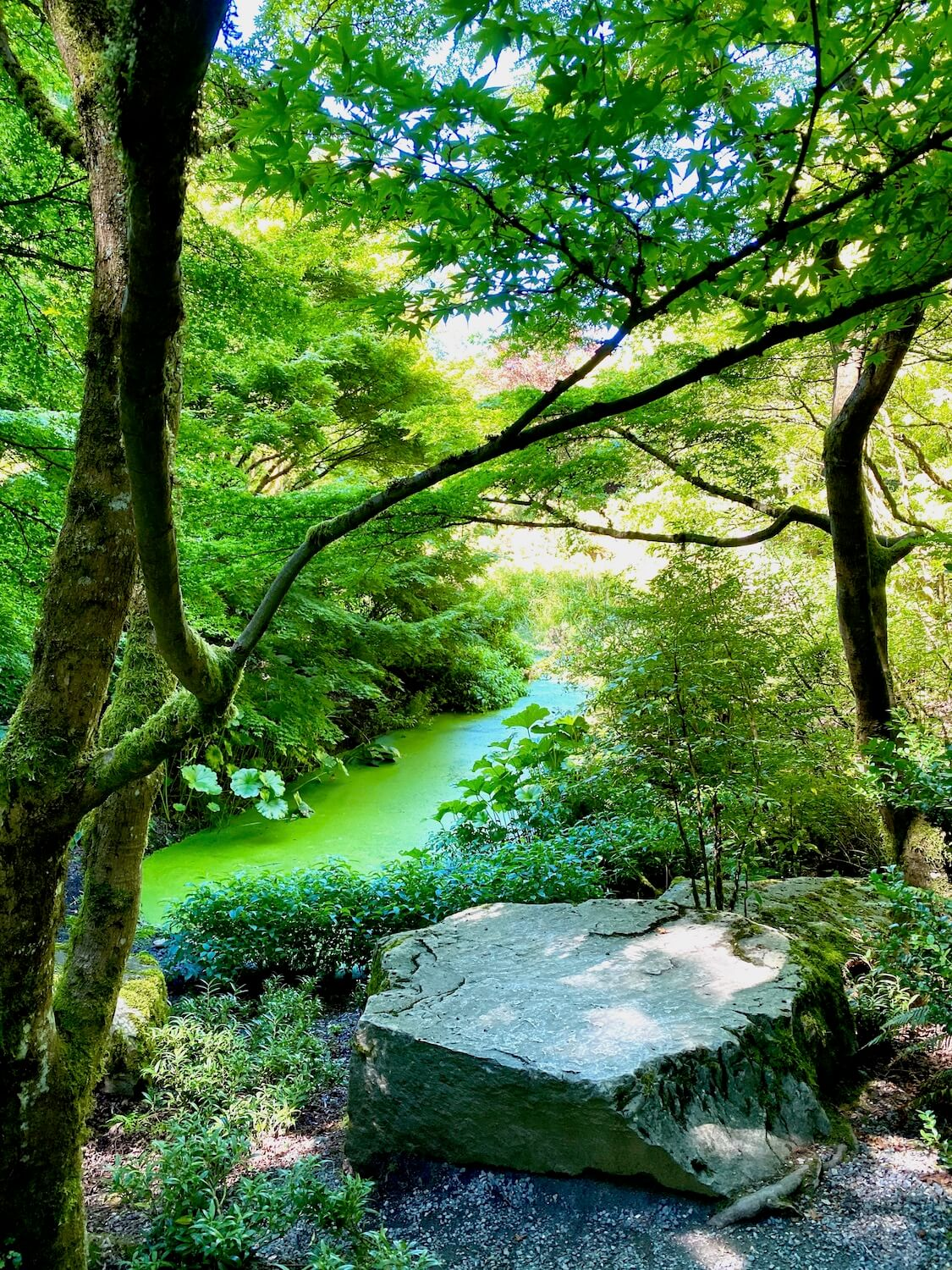 The Yao Garden is one of the most inspiring Japanese gardens in Seattle.  Here the pond has accumulated green algae that sits still underneath the curving branches of delicate maple trees.  A large stone commands a presence in the front of the photo.