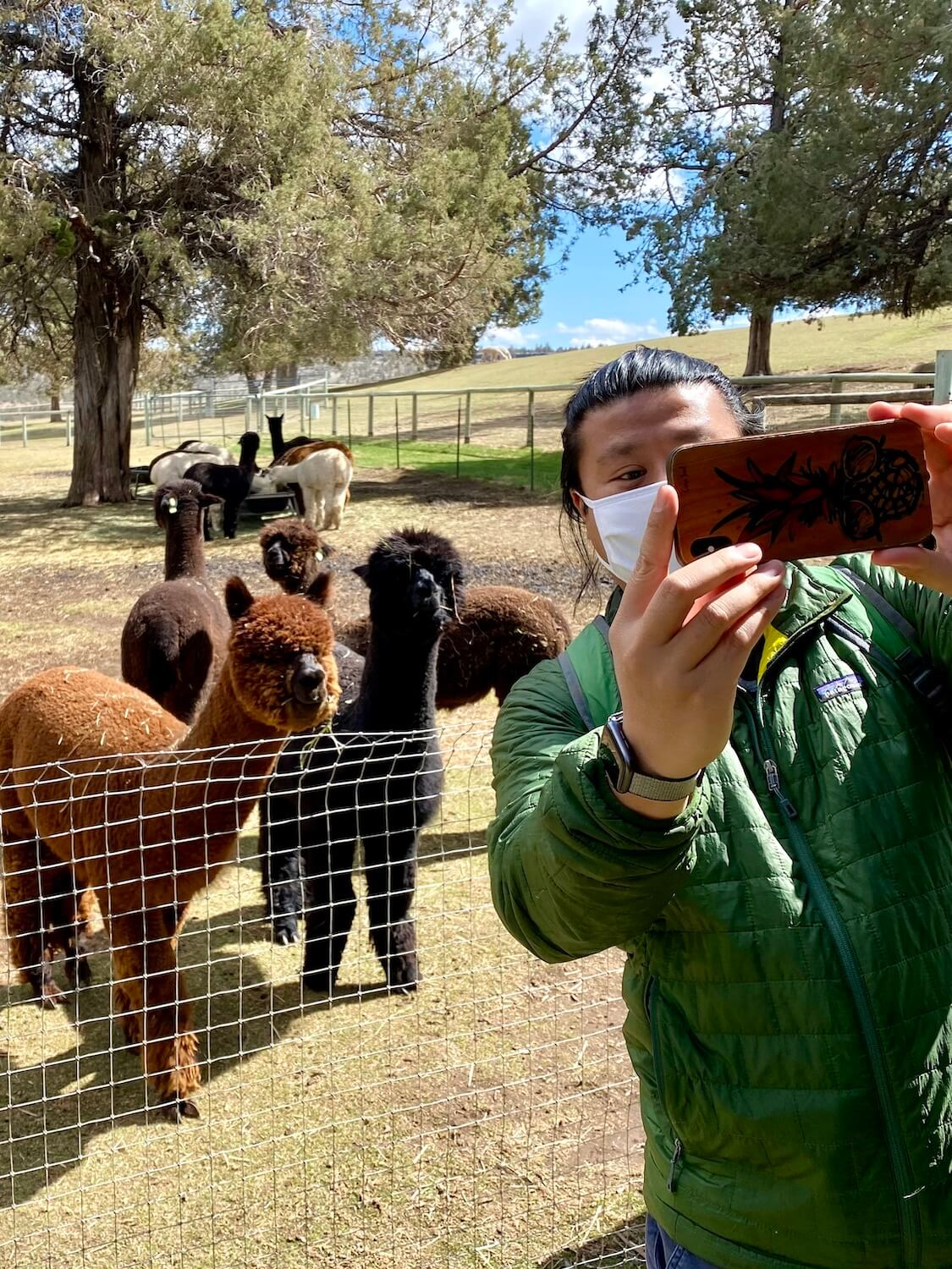 A man wearing a white face mask takes a selfie with brown and black alpacas in a pen behind him.  Several are eating hay under dry trees on a rolling farm pasture scene.