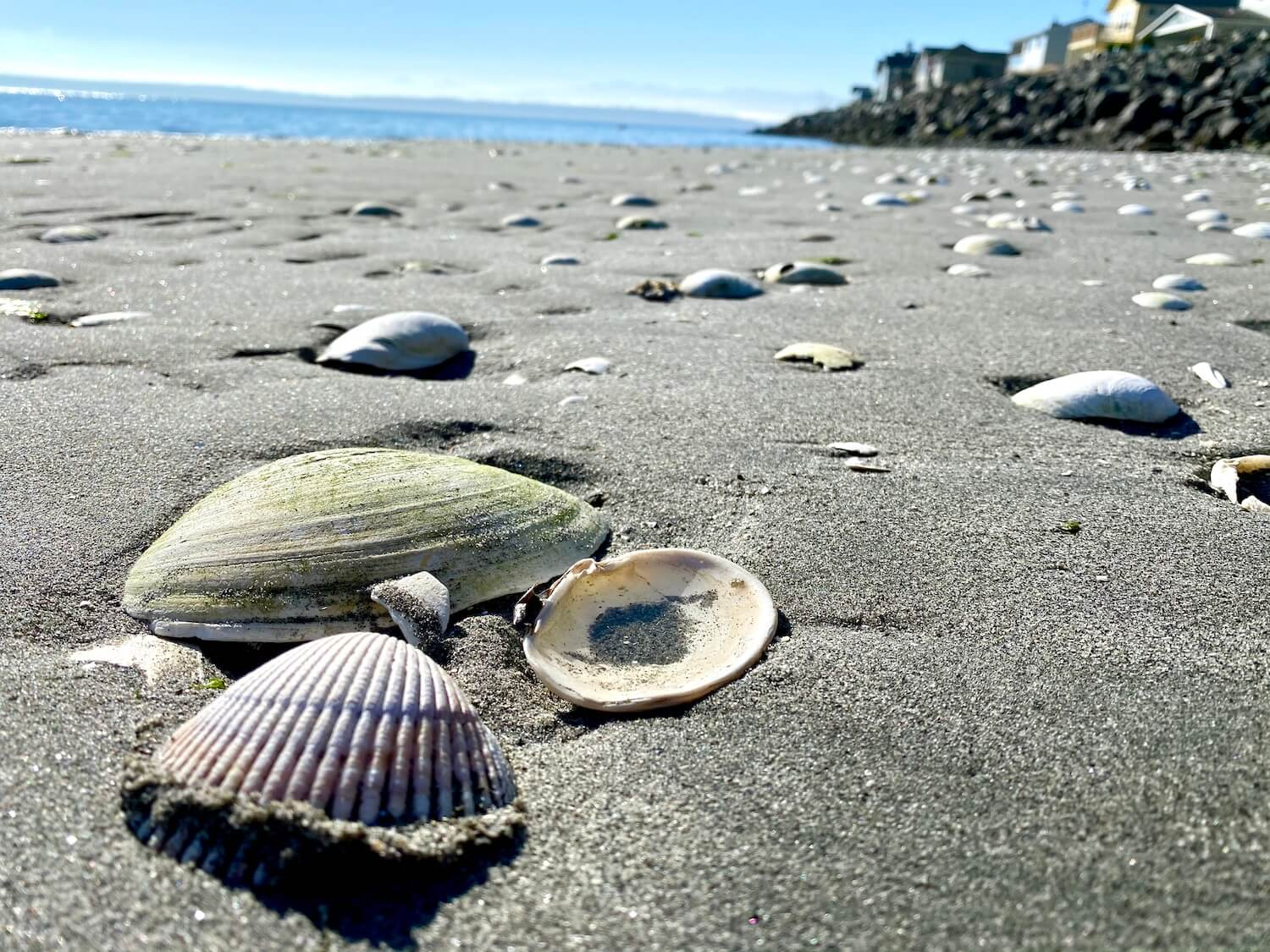 Seashells lay on a beach at low tide. The background is out of focus with a jetty of rocks and houses on top of them. Blue sky is above the water in the background.