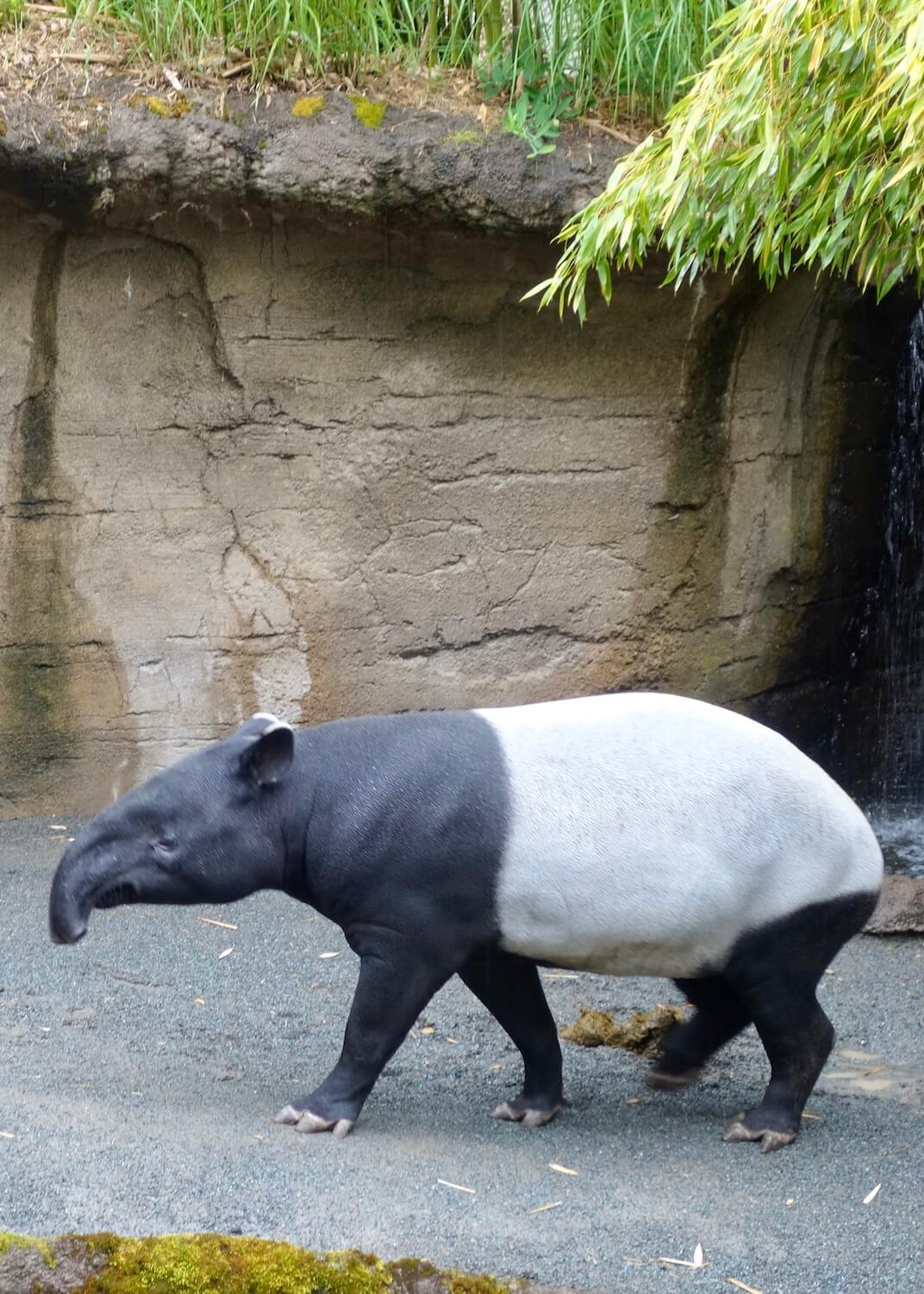 A black and white Tepir animal walks in a pen at the Point Defiance Zoo and Aquarium.