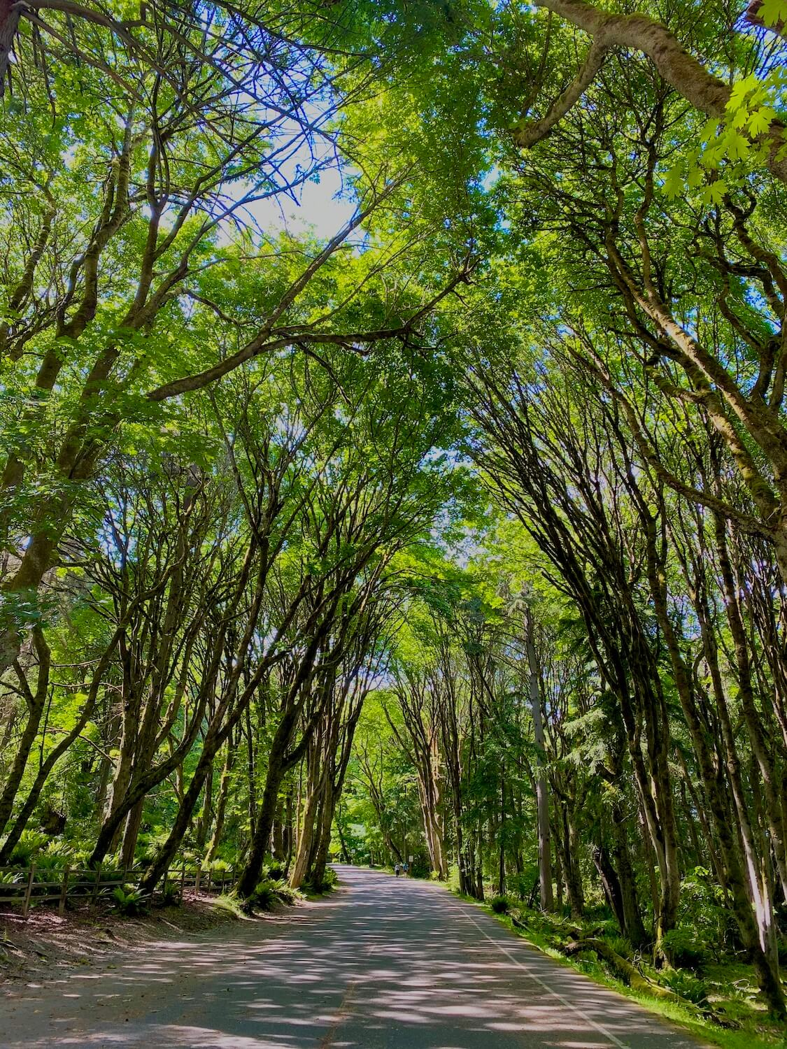 A photo of the stunning green foliage of the maple trees along five mile drive in Point Defiance Park.  The roadway go straight through trees reaching up to the heavens, creating a rich canopy with a few patches of blue sky.
