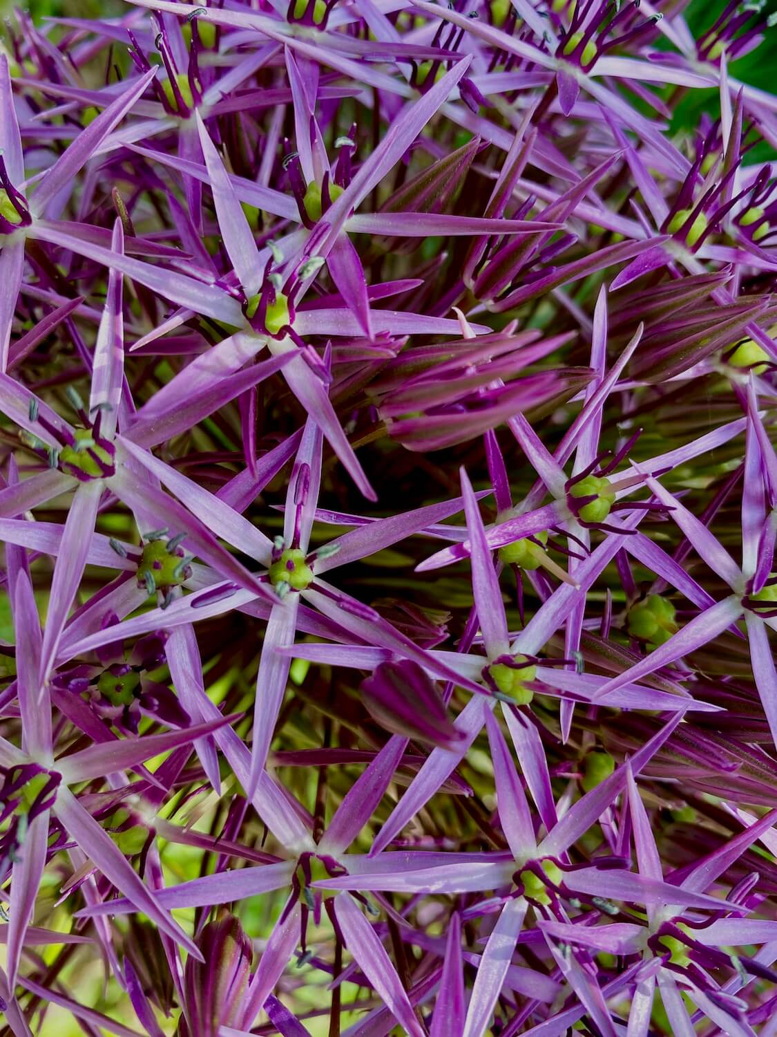A grouping of purple flowers cling together in the Point Defiance Botanical Garden.