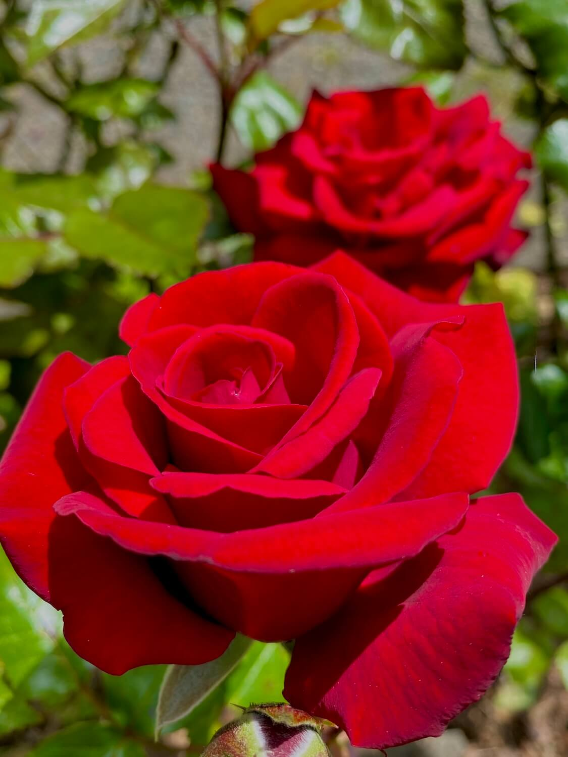 Two bright red roses shine in the sun around green foliage.