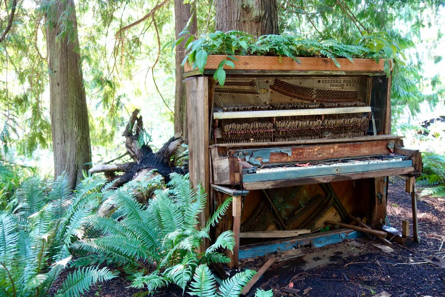This old piano sits under the canopy of a beautiful fern garden on the Kitsap Peninsula in Washington State. The piano is falling apart and seeming to be absorbed into the rich forest.