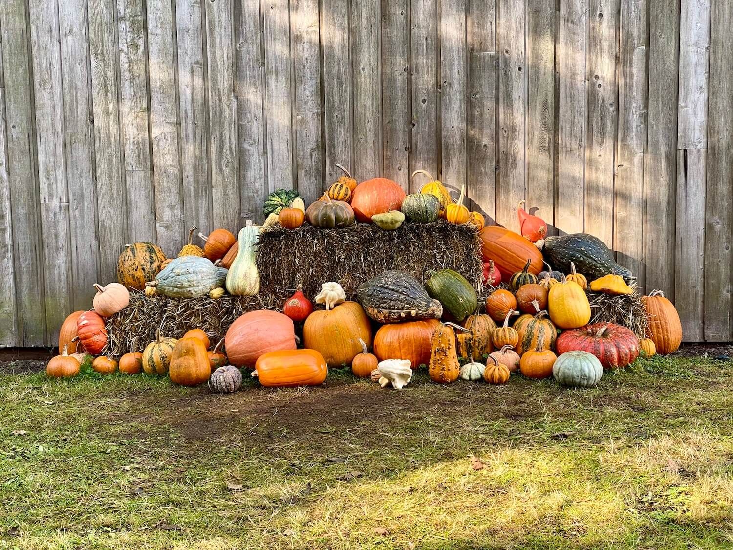 An array of harvest gourds are piled up on some straw bales against a gray wood barn.