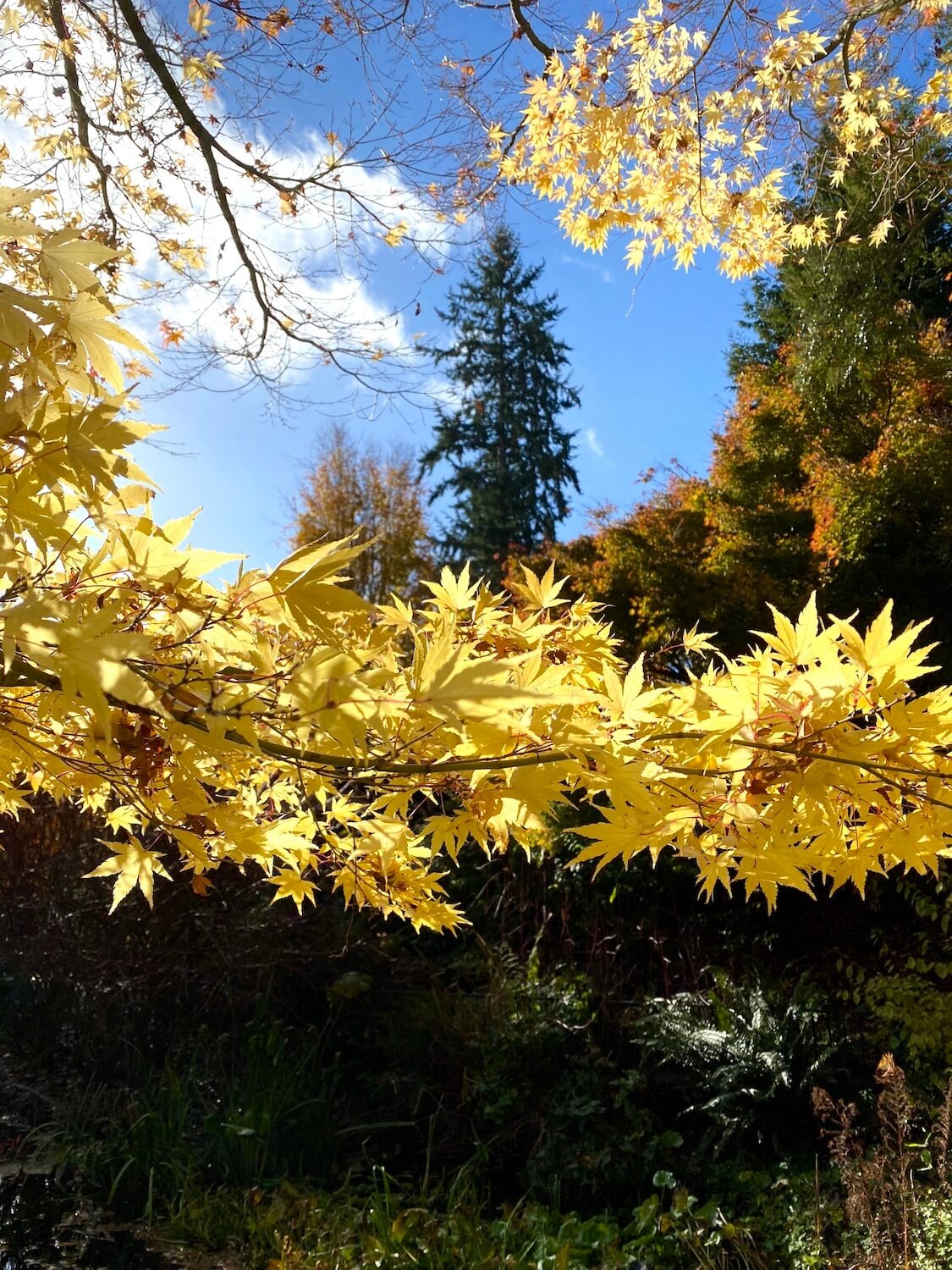 Golden maple leaves bunch up on a branch of a maple tree under the forest canopy and blue skies.