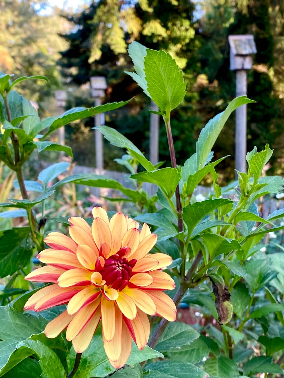 A beautiful orange dahlia pops through green foliage to show offer variegated petals. In the background are birdhouses and other trees.