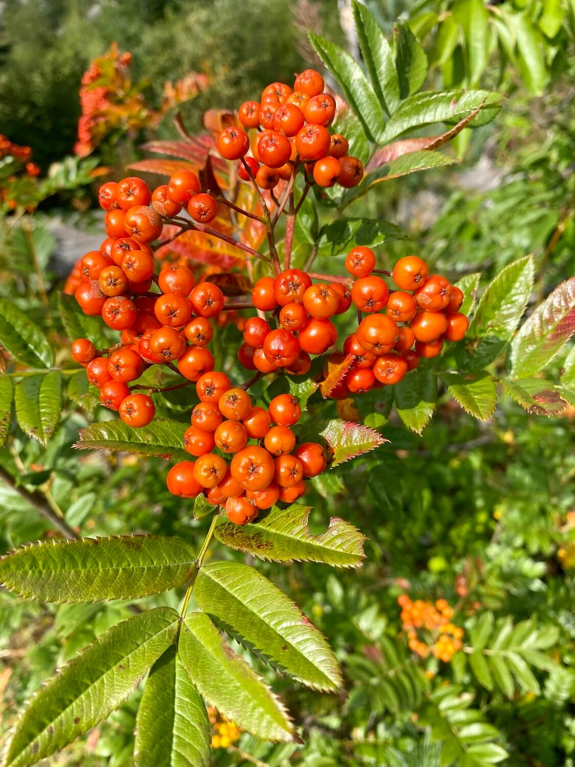Some bright red berries cling to a green branch on a shrub.