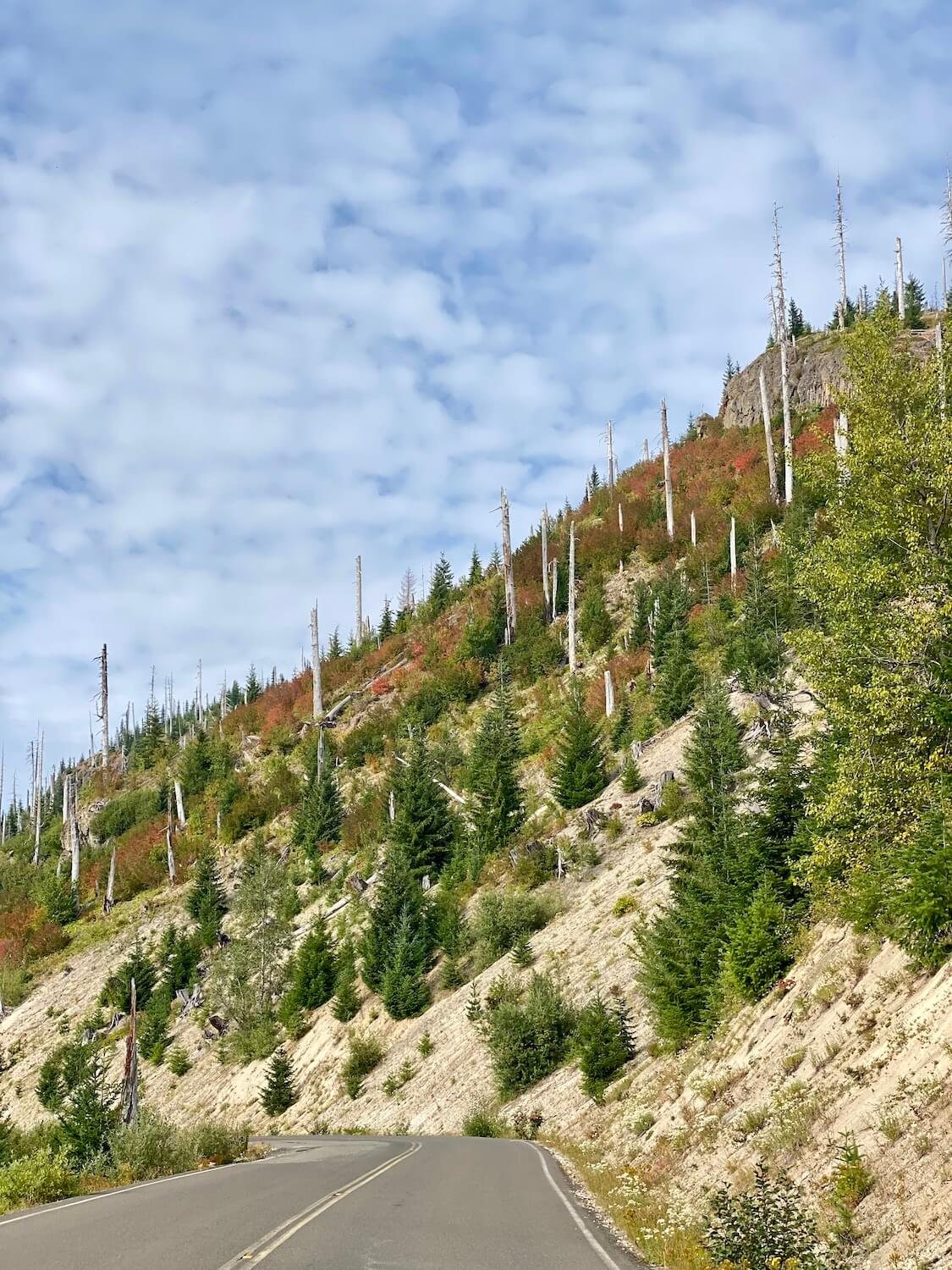 The slope of a former hill in the blast zone of Mount St. Helens sits along the roadway. The dead trees still rise up from the small fir trees and colorful shrubs.