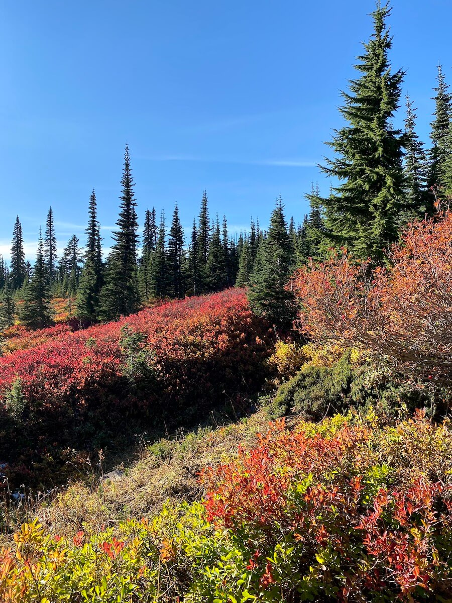 Fall colors on Mt. Rainier near Paradise come to life with red and orange bushes against green fir trees and blue sky.