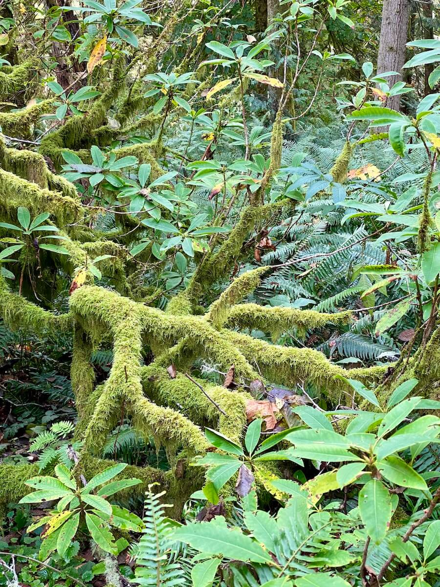 Rhododendron pop through a moss covered branch in a deep forest. All the textures are various greens.