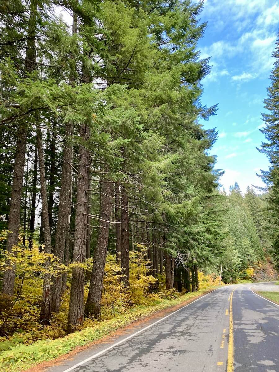 A road driving towards Mt. Rainier National Park. There is a yellow line in the middle of the paved road and tall fir trees reaching up to a blue sky.