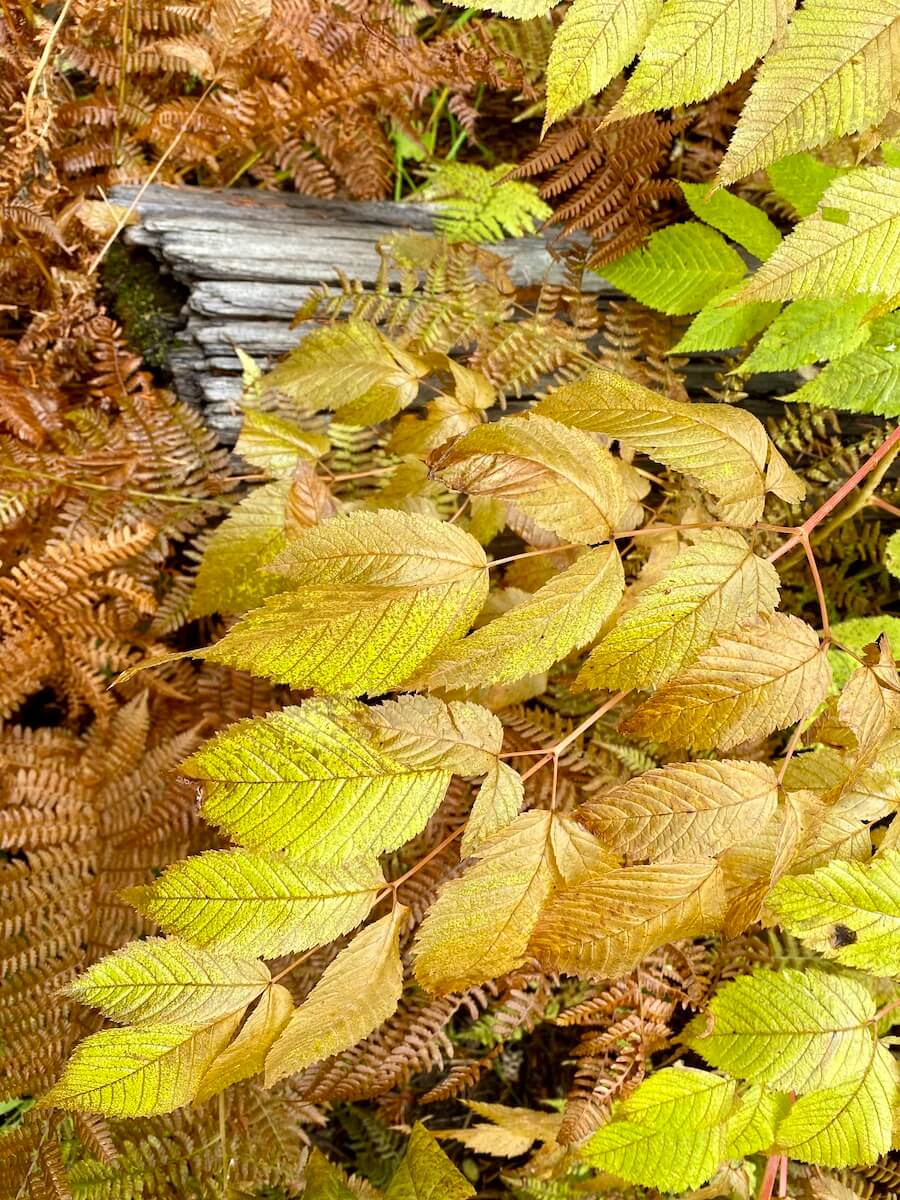 Yellow ground plants are combined with already brown ferns and an old fallen log.