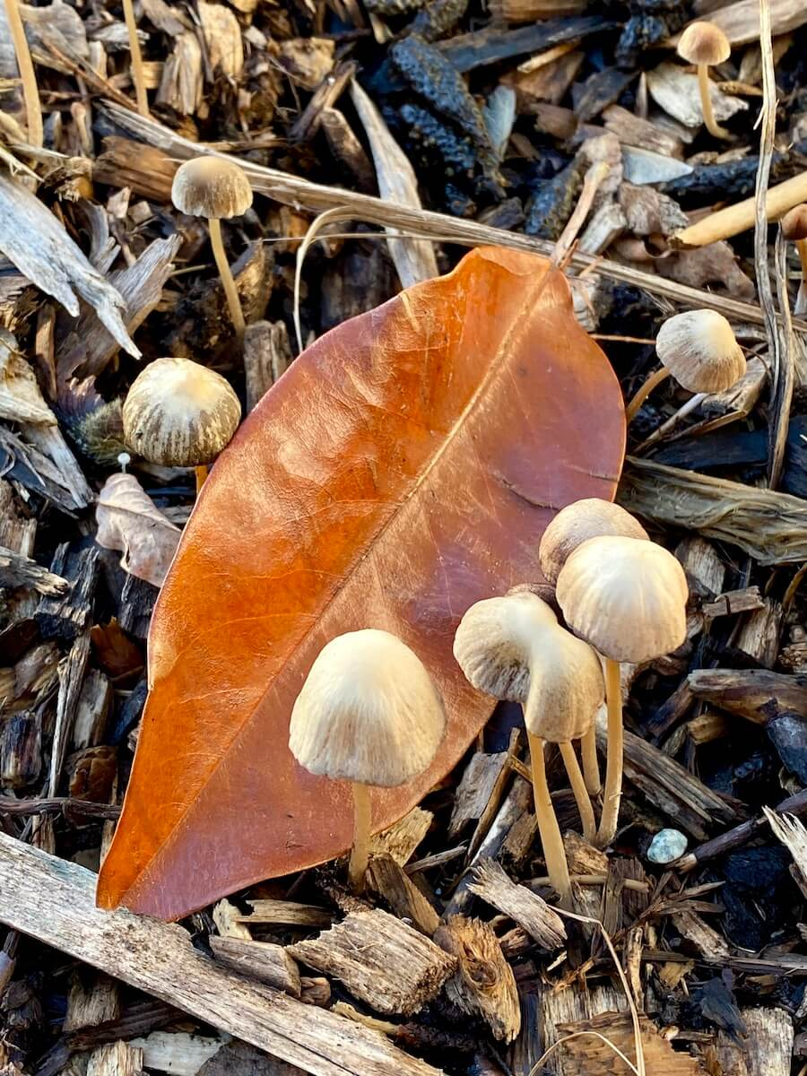 Tiny mushrooms pop up around a rust colored elongated leaf, on the ground around wood chips.