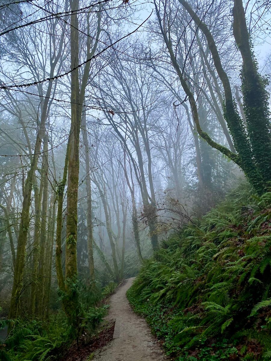 A misty forest shows trees without leaves and a steep bank covered in bright green sword ferns. There is ivy growing on one of the trunks of the tree and a hiking path continues up the hill.